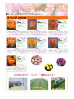 「にいがたチューリップ」品種一覧(オレンジ)