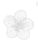 塗り絵   梅の花(大きめ);pdf